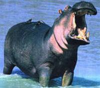Hippopotame_2